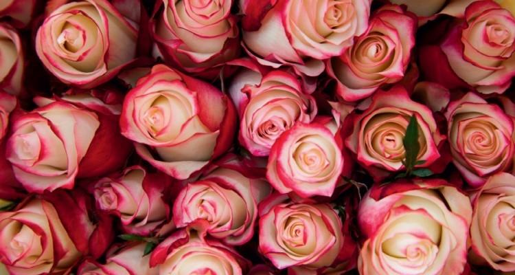 bi-colored Ecuadorian roses