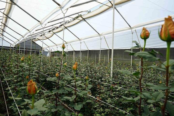 long-stemmed stunning roses